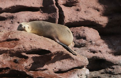 A young sea lion perched high on a volcanic rock