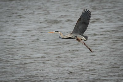 A great blue heron taking flight