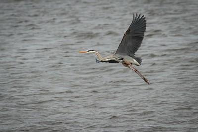 A great blue heron taking flight