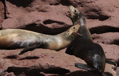 Sea lions at Los Islotes