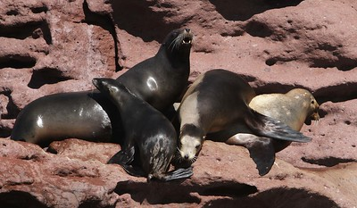 Sea lions rest on volcanic rocks