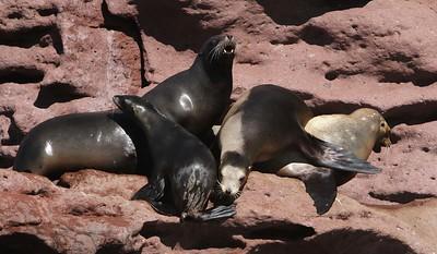 Sea lions rest on volcanic rocks