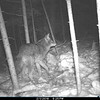 COYOTE AT COTTAGE