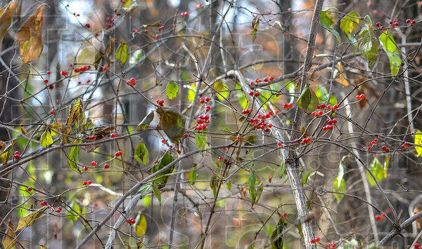 MET 120318 Red Berries