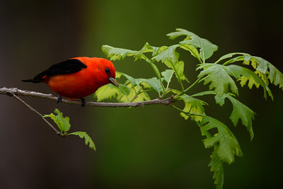 _18B1969-E-Scarlet_Tanager