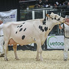 QuebecSpring18_Holstein-2034
