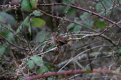 Song Sparrows are a common bird found in the Tacoma region. Taken on January 31, 2018.