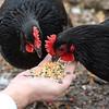 MET 021218 Hens Feed