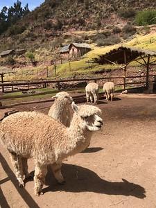Alpaca Huacaya - Kimberly Collins