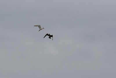 A Parasitic Jaeger being harassed by a Royal Tern off Marina Del Rey.