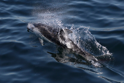 A Pacific White-sided Dolphin off Hermosa Beach.