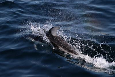 Rainbow dolphin.