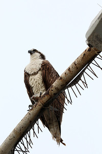 This Osprey was very happy with its catch of the day. Sometimes called Sea Hawks, Ospreys forage primarily on fish.