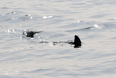 If you are on the water and think you see a shark, here is a tip to distinguish it from other animals. Sharks have very powerful tails and more often than not, the tail can be seen on the surface, like in this photo. If you see two fins and the rear one moving side to side, chances are it might be a shark. Dolphins and whales swim with their tail moving up and down.