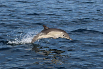 Barely visible fetal folds on this Common Dolphin.