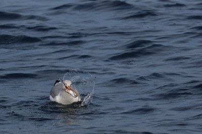 This California Gull swooped down and grabbed this fish. What king of fish is a mystery, but it is still very cool.