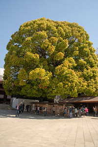 Meji shrine wishing tree