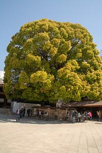 Meji shrine wishing tree