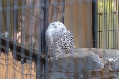 Snowy tree owl