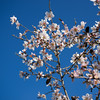 One of the first signs of Spring in Israel is the Almond tree bloom