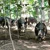 MET 070518 Royer Pigs