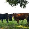 MET 070518 Royer Cattle