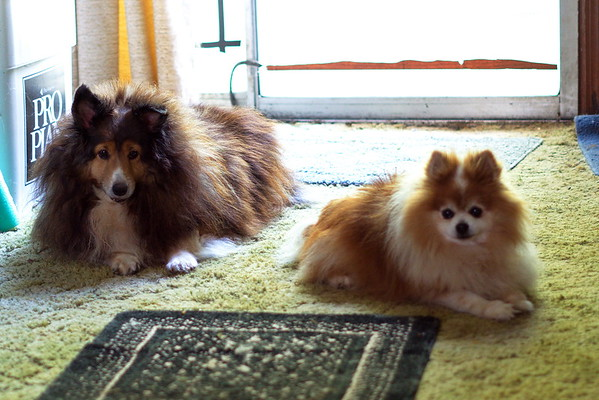 Peggy sable sheltie and Sami Pomeranian
