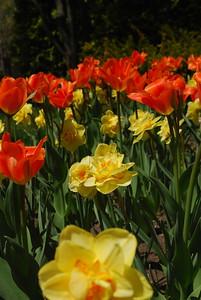 Island King Tulip
