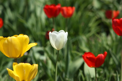 One white tulip