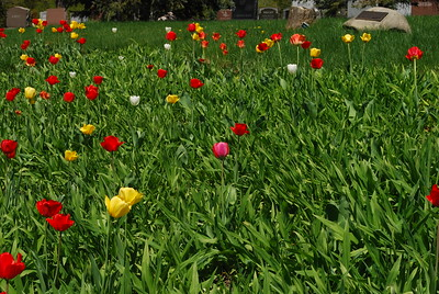 One pink tulip among the others.