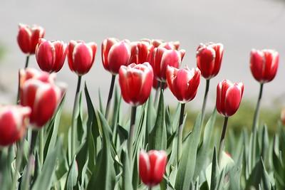 Hot Tamale Tulip