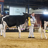 NYSpring18_Holstein-3460
