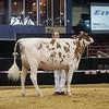 NYSpring18_Holstein-3574