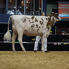 NYSpring18_Holstein-3575
