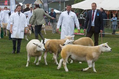 Texel Classes Bath and West Show 2018 ©Tim Scrivener Photographer 07850 303986 ....Covering Agriculture In The UK....