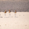 American avocets.  There are actually 5 here.