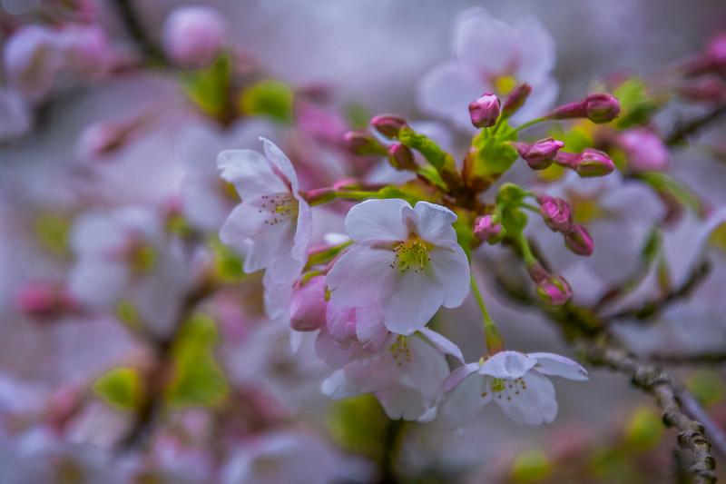 Cherry Blossom Dream
