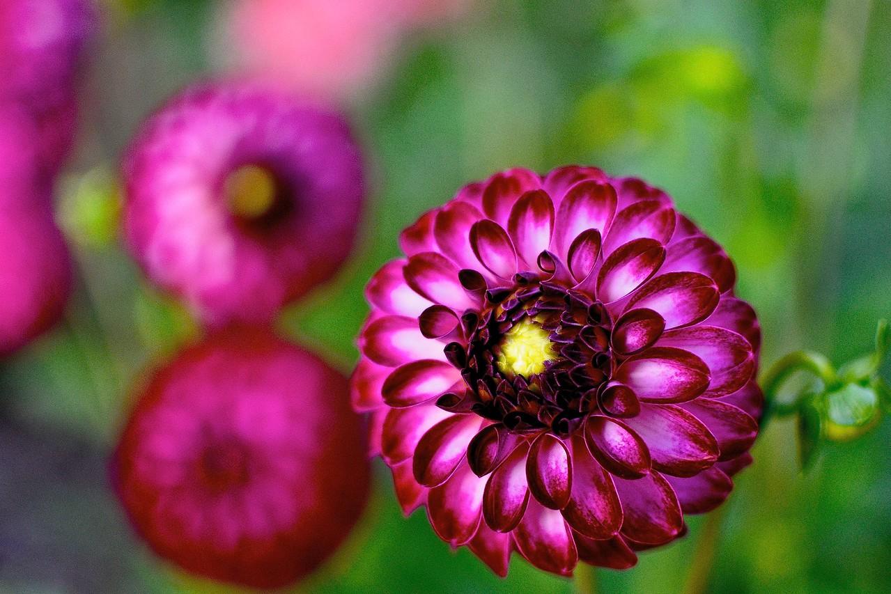 Bartley's Burgundy Bloom