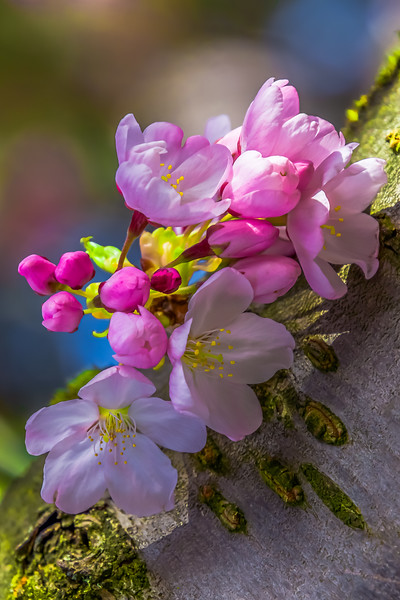 Cherry Blossoms Along the Bough