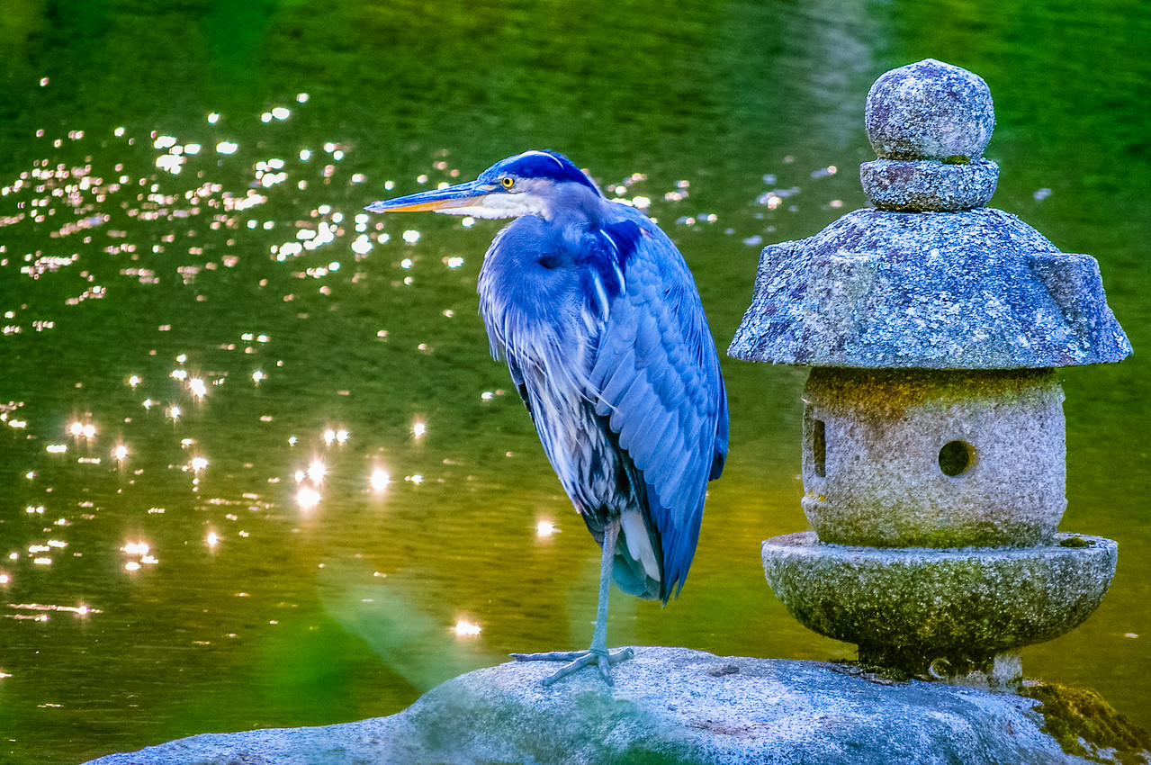 Regal Blue Heron