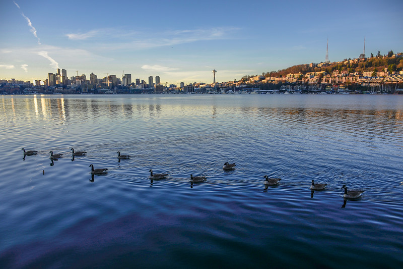 Canadian Geese in Seattle