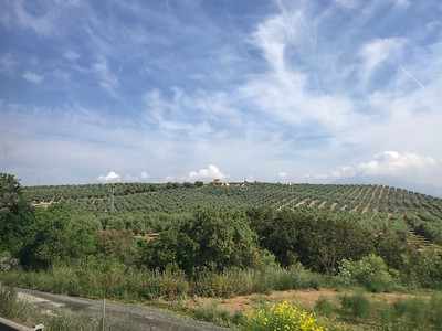 Olive groves in the Spanish countryside - Grace Penn