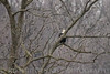 Bald Eagle chase at BK Leech Conservation Area