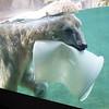 Playful polar bear.