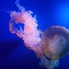 Mara loves jellyfish.