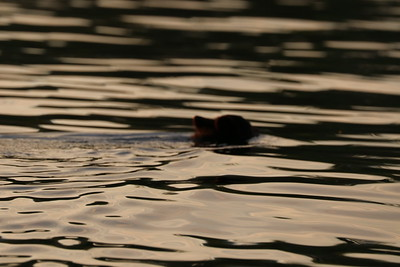 Squirrel and cubs swimming 91618