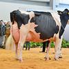 UKDairyExpo18_Holstein_7446