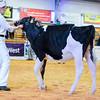 UKDairyDays18_Holstein_0603