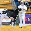 UKDairyDays18_Holstein_0605