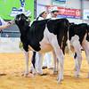 UKDairyDays18_Holstein_0607
